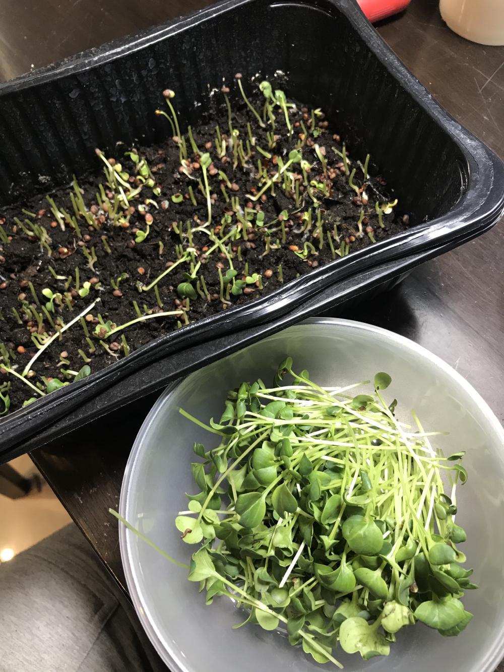 Геноцид микрозелени редиса